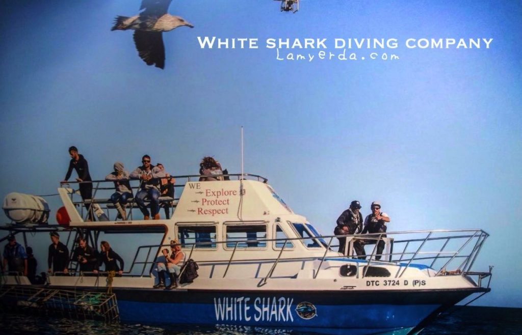 White Shark Diving1