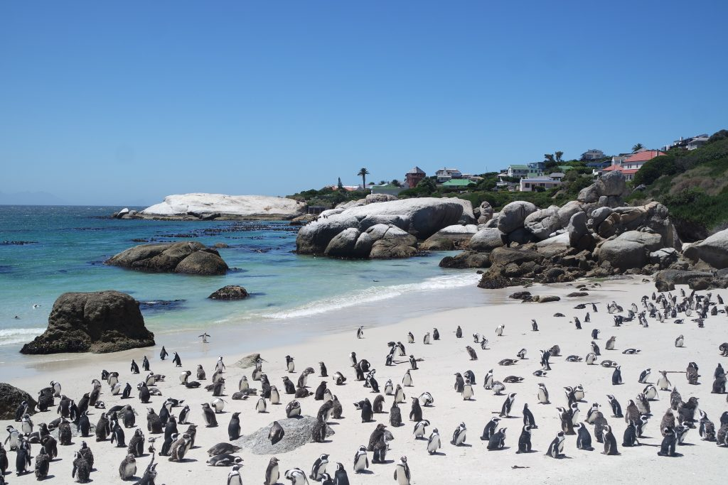 african penguin boulders beach simons town capetown
