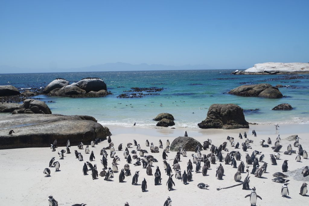 african penguin boulders beach  cape town