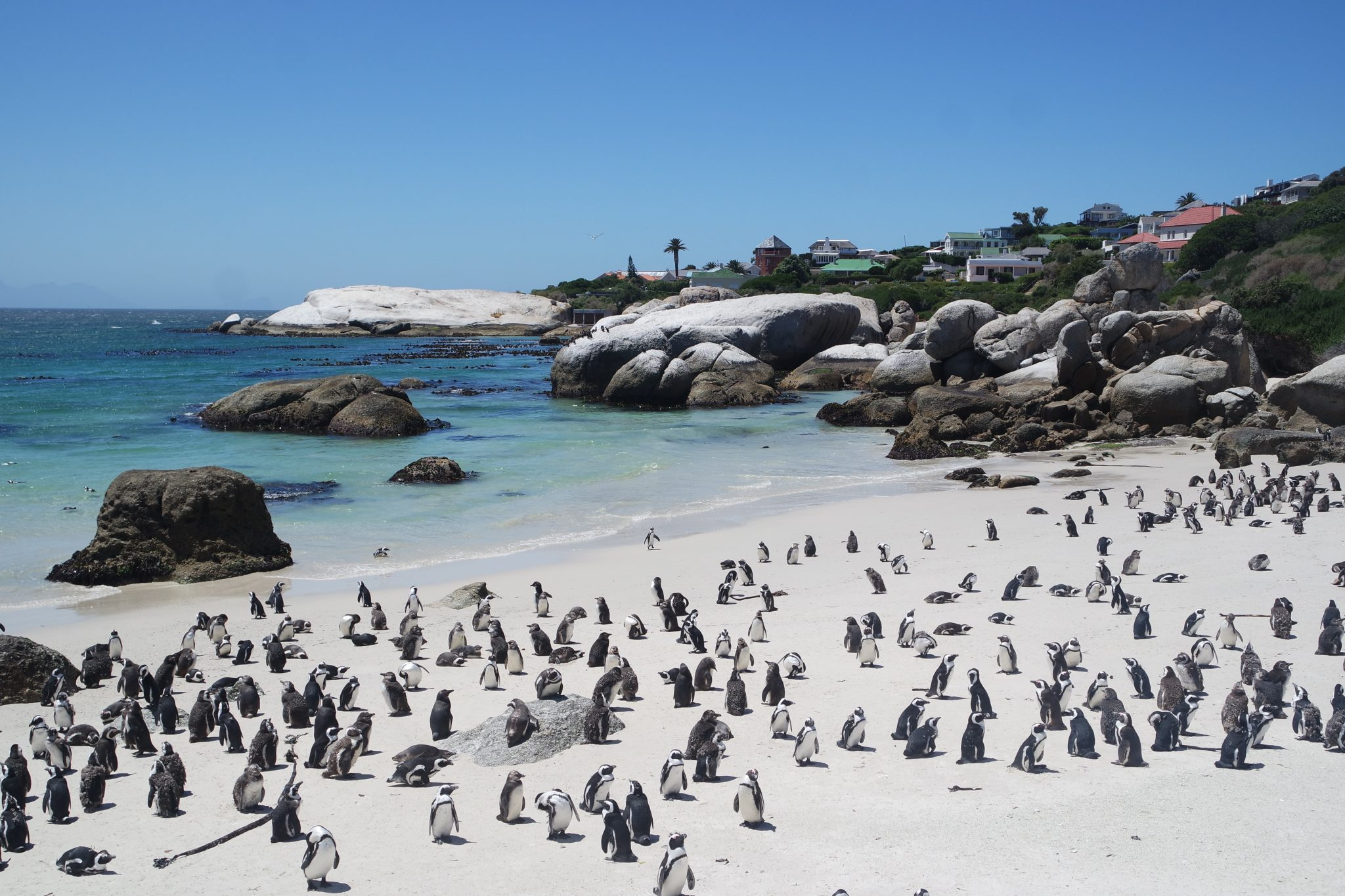 penguin-colony-at-boulders beach-in-simons-town-cape town south africa